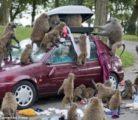 Бабуины против автомобилистов